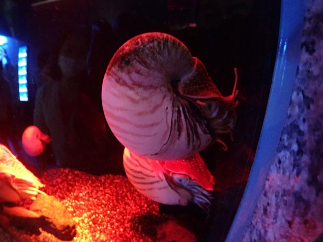沼津港深海水族館のオウムガイ