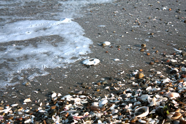 富津岬でタコノマクラ発見