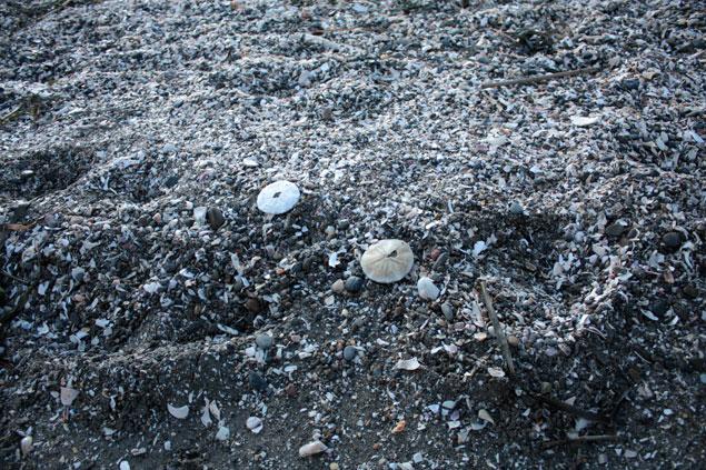 千葉県の富津岬でのタコノマクラ