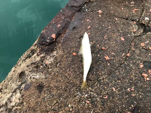 鹿島で爆釣したアジ